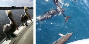 Pelicans and Dolphins in Oak Island